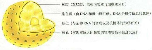 高中生物 细胞核的结构与功能